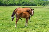 picture of thoroughbred  - Thoroughbred mare and foal grazing in a Kentucky bluegrass pasture - JPG
