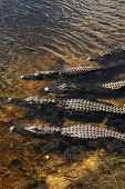 stock photo of alligators  - 5 Alligator lie close look in the same direction - JPG