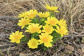 picture of adonis  - Adonis vernalis blooms in the forest in May - JPG