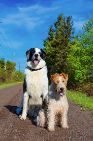 picture of border terrier  - A wire fox terrier and a border collie mix on the trail in rural Prince Edward Island - JPG