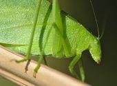 Green Katydid Grasshopper , Pico Bonito, Honduras