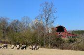 image of suffolk sheep  - Suffolk sheep grazing near an old bar - JPG