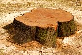 stock photo of cutting trees  - Stump of a freshly cut tree surrounded by saw dust - JPG