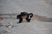 Mantled Howler Monkey and Baby