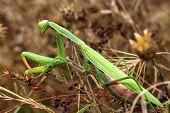 Female Mantis religiosa on autumn grasses