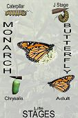 Monarch Compilation With Milkweed Lettered