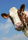 picture of nostril  - Funny portrait of a cow watch the tongue touching the nostril - JPG
