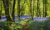 Sun Streams Through Bluebell Woods With Deep Blue Purple Flowers Under A Bright Green Beech Canopy poster