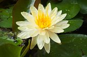 image of corbel  - Yellow Lotus Flower with green leaf background - JPG