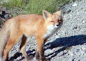 Fearsom Fox Pose