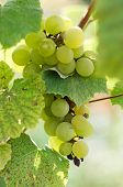 Green Grapes In A Vine Yard On Green Background.white Grapes On A Branch Of Green Vine In Vineyard B poster