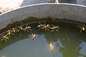 Wasps Polistes Drink Water. Wasps Drink Water From The Pan, Float On The Surface Of The Water, Flyin poster