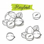 Hand Drawn Sketch Style Hazelnut Set. Single, Group Seeds, Hazelnut In Nutshells Group. Organic Nut, poster