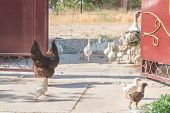 Turkey And Other Poultry Walks Around The Yard In The Summer poster