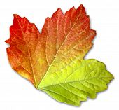 stock photo of fall leaves  - single autumn leaf against a white background - JPG