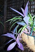Purpleheart Tradescantia Pallida