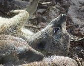 Meerkat Suricata Resting