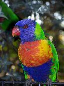 Rainbow Lorikeet 6