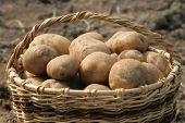 Basket of potatoes.Closeup.