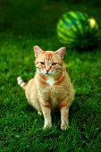 Pregnant Tabby Red Cat In Summer Green Grass With Watermelon On Background. Cute Ginger Red Cat Sitt poster