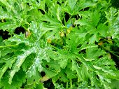Zucchini Leaves. Vegetable Garden. Siberian Nature Cultivated Plants poster