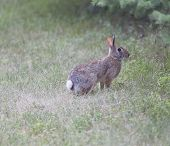 A Cottontail Rabbit Ready To Bolt
