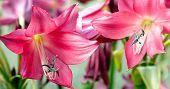 image of belladonna  - Beautiful pink Amaryllis a small genus of flowering bulbs - JPG