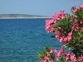 Pink Oleander Flowers With Blue Sea Background