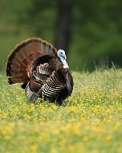stock photo of cade  - Turkey in a meadow in Cades Cove - JPG