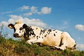 Relaxing Cow