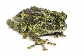 Mossy Frog, Theloderma corticale, also known as a Vietnamese Mossy Frog, or Tonkin Bug-eyed Frog, po