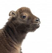 Mishmi Takin, Budorcas taxicolor taxicol, also called Cattle Chamois or Gnu Goat, 15 days old, close