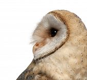 Barn Owl, Tyto alba, 4 months old, close up against white background