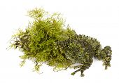 Mossy Frog next to Moss, Theloderma corticale, also known as a Vietnamese Mossy Frog, or Tonkin Bug-