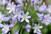 Agapanthus Flowers.