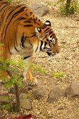 Ussurijsk tiger