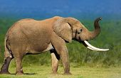 Elephant with large tusks smelling the air - Addo National Park