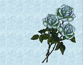 Three White Roses on Blue Background