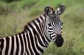 Zebra Close Up Serengeti Tanzania