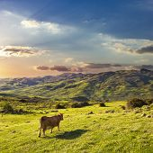 a cow goes down in the green valley at the sunset