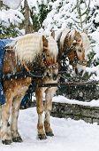 Weihnachten-Pferde