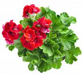picture of geranium  - Red geranium flower close up isolated on white background - JPG