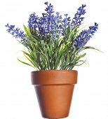 Lavender plant in pottery terracotta clay pot  isolated on white background