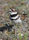 Killdeer in the Weeds