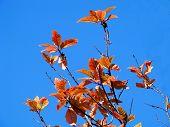 Bird Cherry Leaves