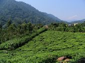 Tea Fields At The Edge Of The Impenetrable Forest, Uganda