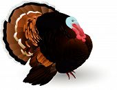 picture of turkey-cock  - Vector turkey - JPG