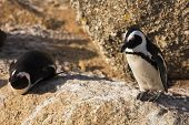 stock photo of jackass  - Jackass Penguins  - JPG