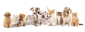 foto of coon dog  - Group of Puppies and  kitten of different breeds - JPG