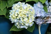 Flora Blue Hydrangea